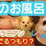 【ポメラニアン ライト】泳いでるつもり?(笑)犬のお風呂ダイエット【Pomeranian raito】 I'm going to swim?(haha  dog's bath diet.